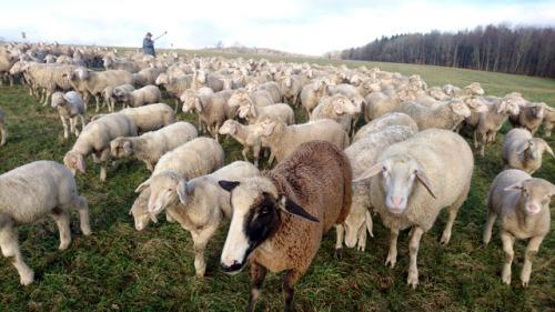 Bild Schafe - Familiengruppe